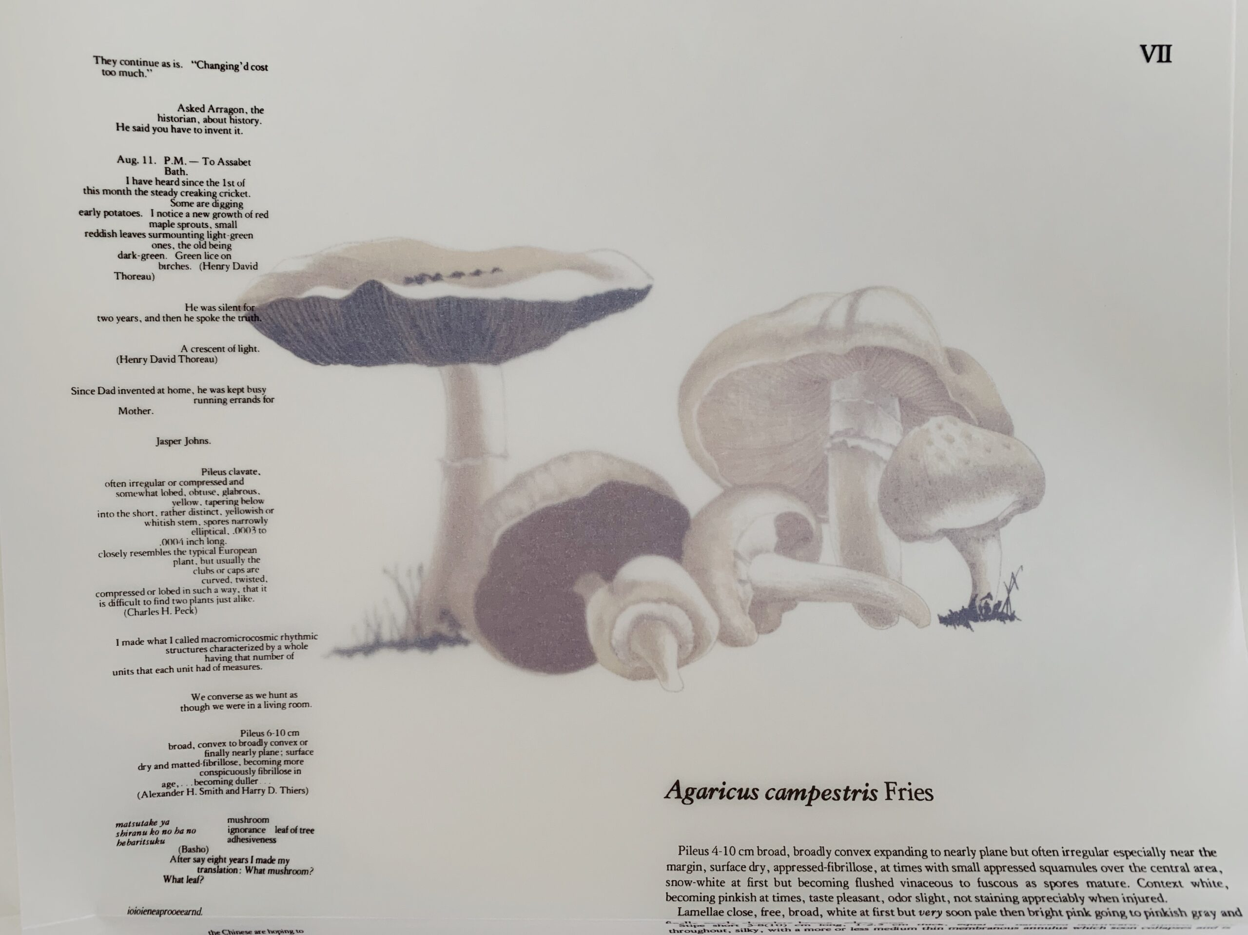 Agaricus campestris, illustration by Lois Long