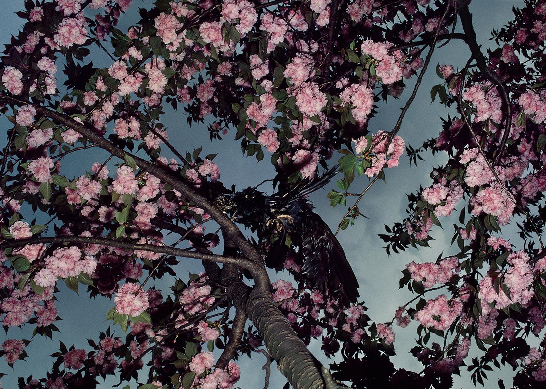 Cherry Blossoms, Shinjuku Gyoen, 1980 Shomei Tomatsu